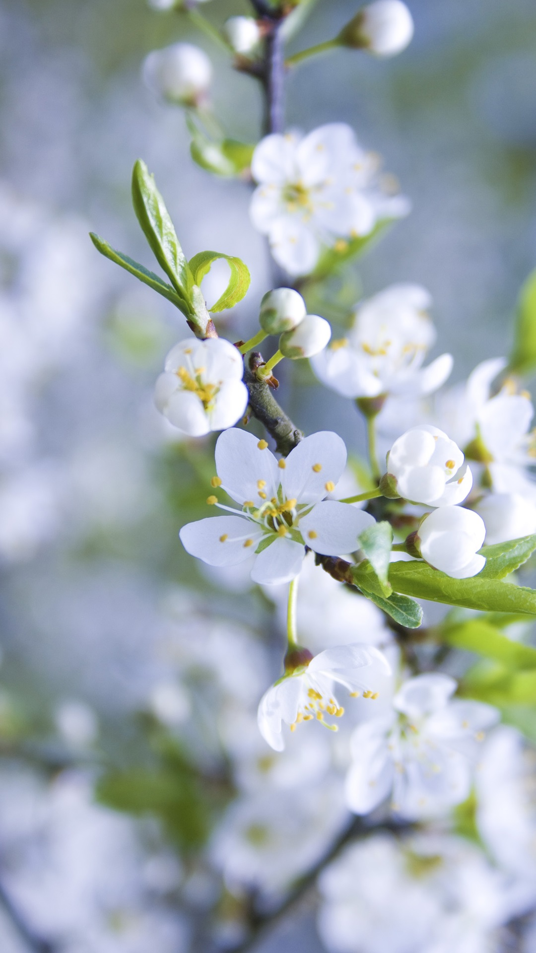 White apple flowers petals spring iphone x 8 7 6 5 4 3gs - Flower wallpaper iphone 8 plus ...