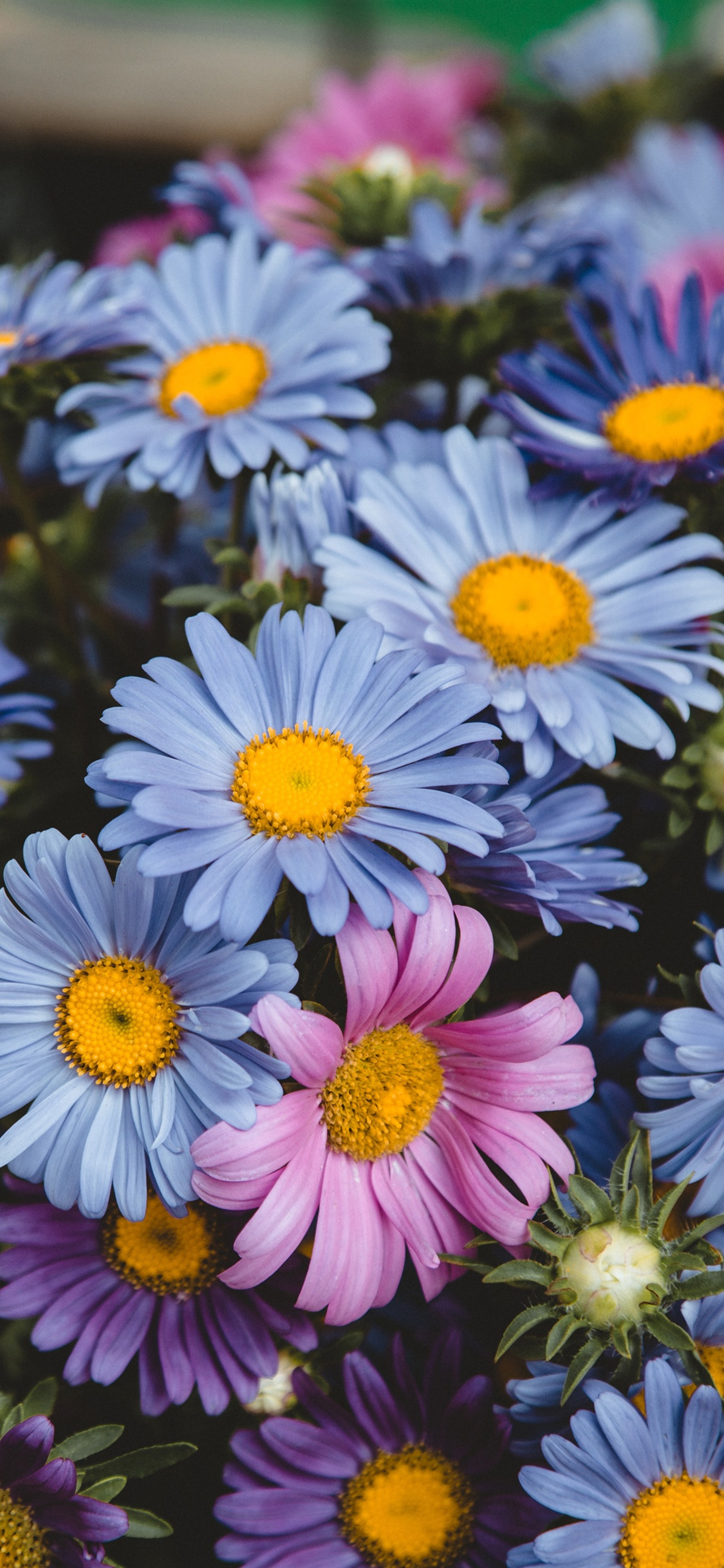 Blue And Pink Daisy Flowers Iphone X 8 7 6 5 4 3gs Wallpaper