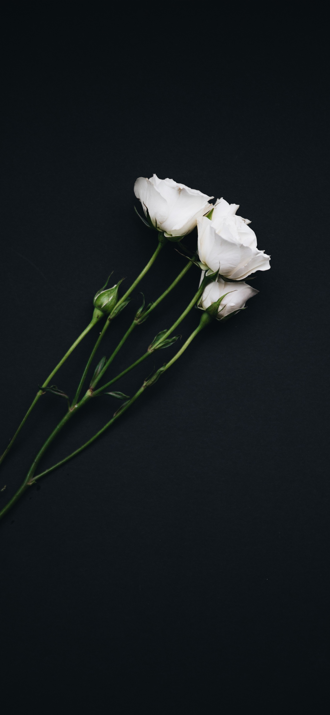 White Roses Black Background Iphone Xs Max X 8 7 6 5 4 3gs Wallpaper Download Iwall365 Com