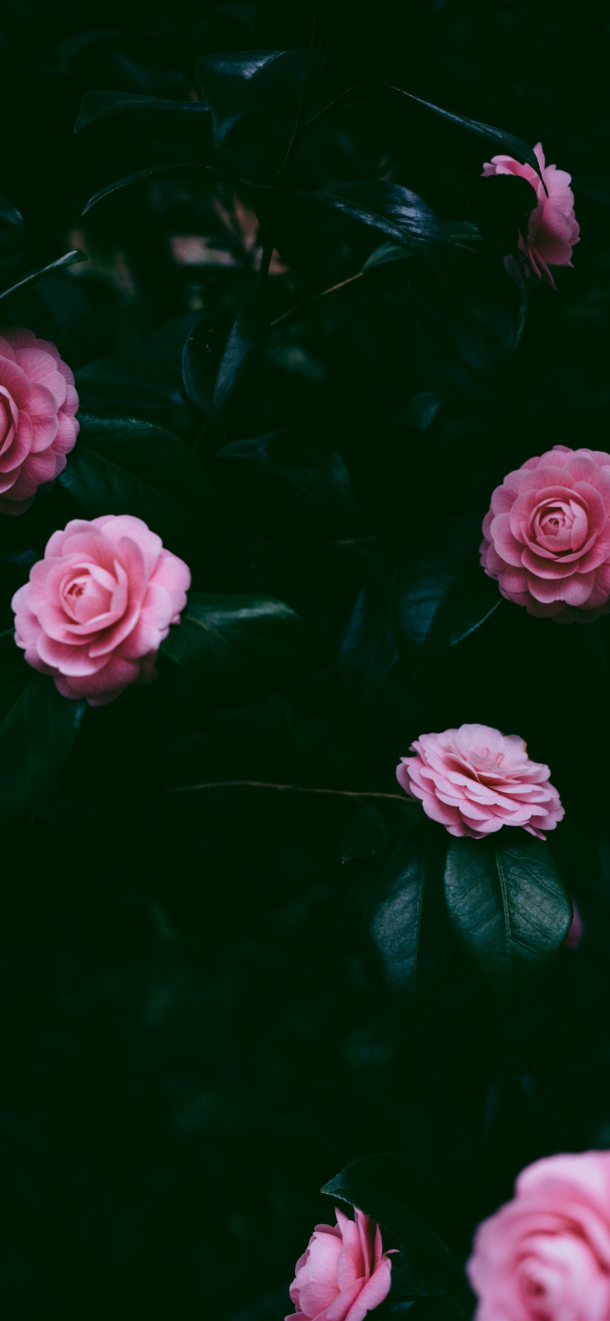 Many Pink Roses Iphone Xs Max X 8 7 6 5 4 3gs Wallpaper Download