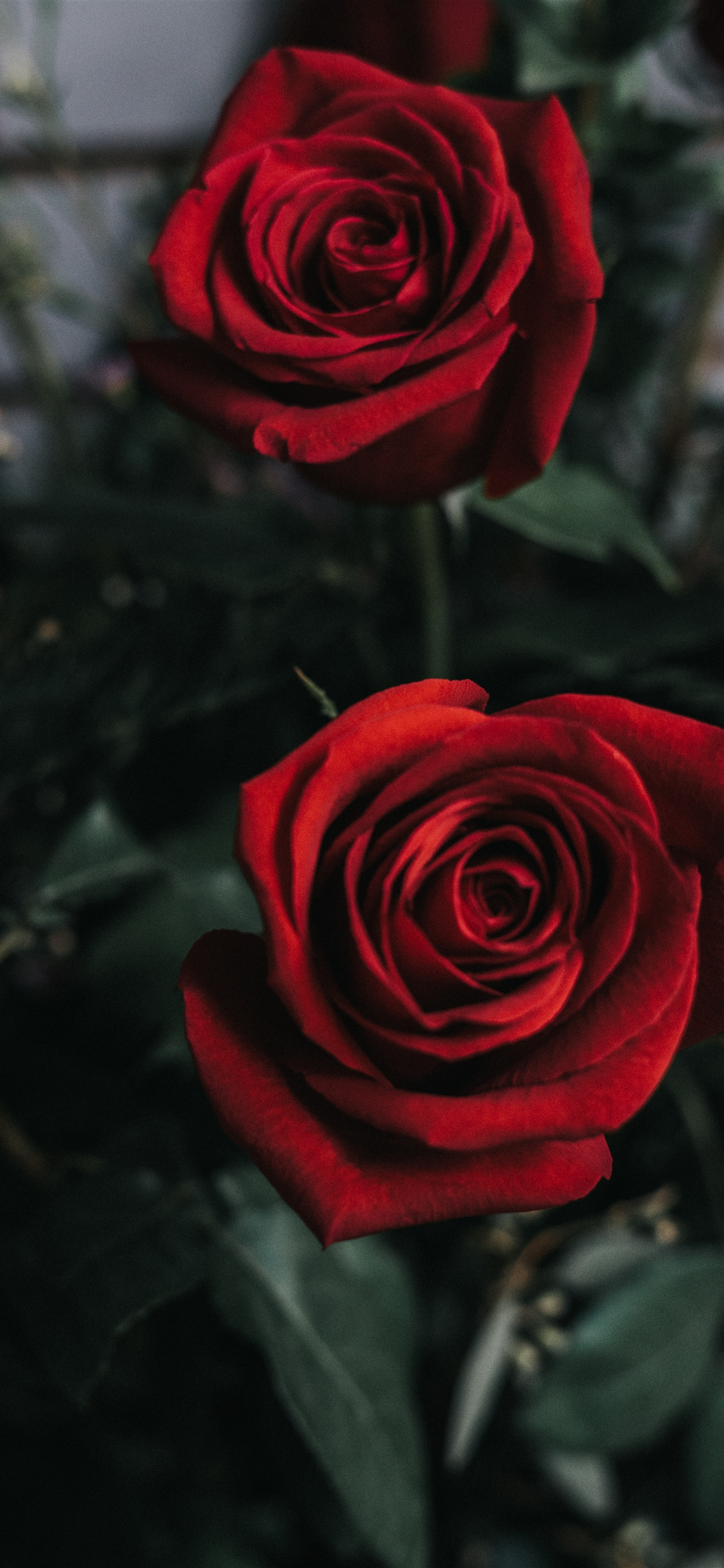 Two Red Roses Flower Photography Iphone Xs Max X 876543gs