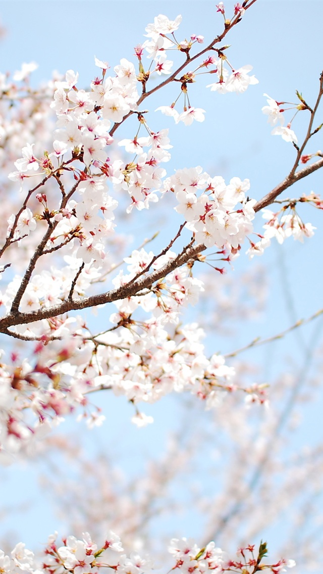 Iphone 5 wallpaper, The cherries and Cherry blossoms on