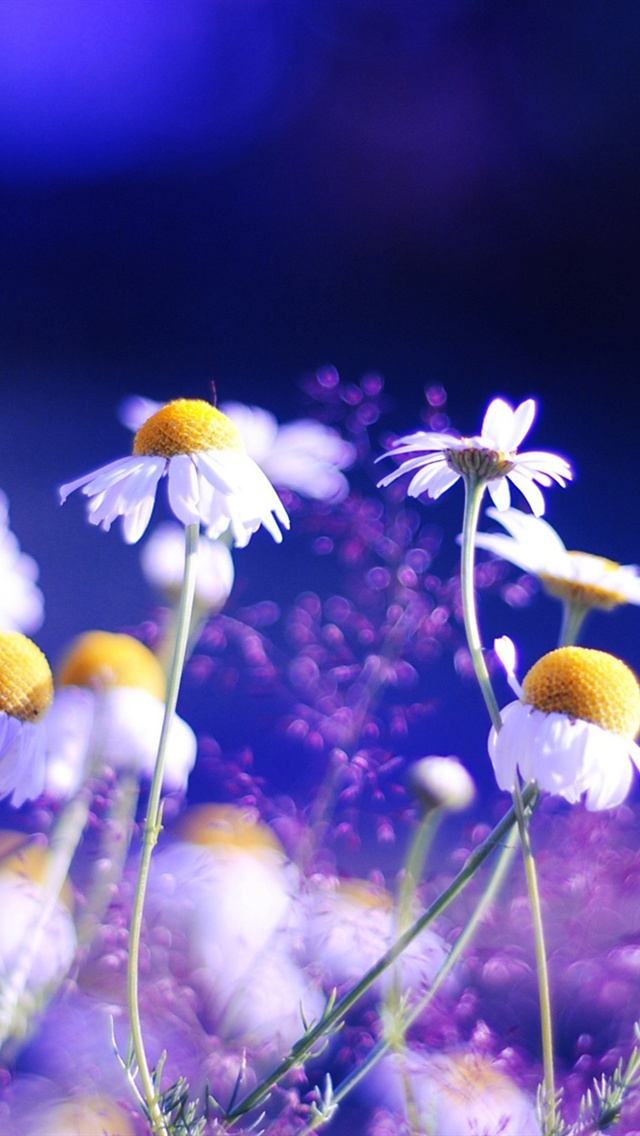 Daisy Flowers Blue Background Iphone X 8 7 6 5 4 3gs Wallpaper