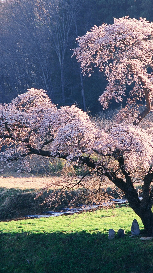 Japanese landscape, the cherry blossom