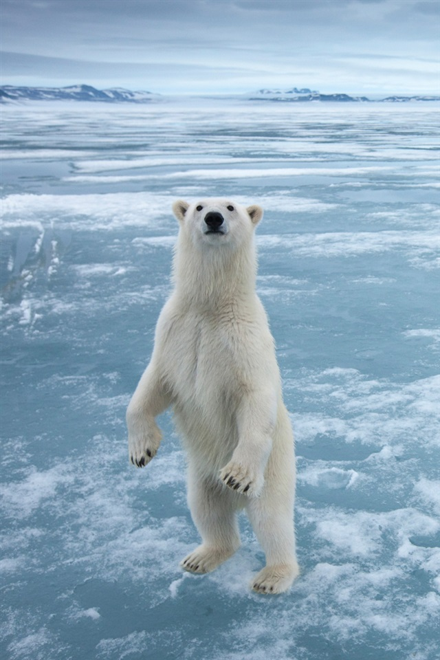 Polar Bear In The Cold Arctic Ice Iphone X 8 7 6 5 4 3gs