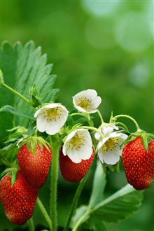 Red strawberries, flowers, leaves iPhone Wallpaper Preview