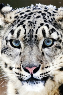 Blue eyes snow leopard face close-up iPhone Wallpaper Preview