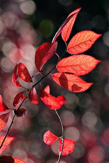 Autumn red leaves iPhone Wallpaper Preview
