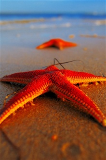 Beach starfish iPhone Wallpaper Preview