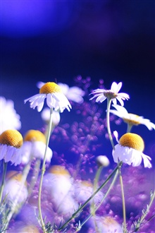 Daisy flowers blue background iPhone Wallpaper Preview