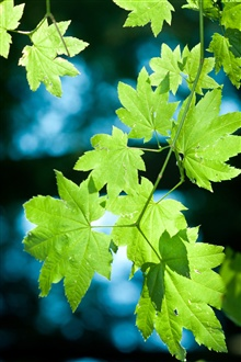 Fresh green maple leaves iPhone Wallpaper Preview
