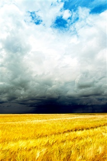 Golden wheat fields, cloudy sky iPhone Wallpaper Preview