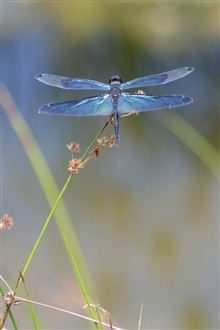 Insect dragonfly iPhone Wallpaper Preview