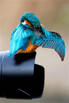 Kingfisher on the camera lens iPhone Wallpaper Preview