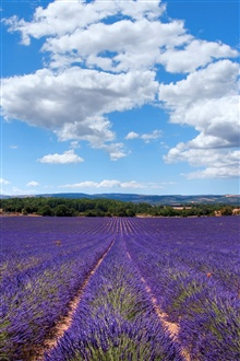Lavender of Provence, France iPhone Wallpaper Preview