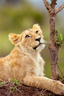 Lion lying in the tree side iPhone Wallpaper Preview