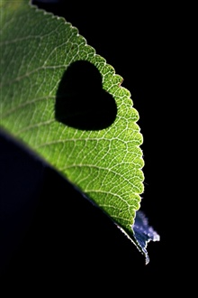 Love heart-shaped on the leaves iPhone Wallpaper Preview
