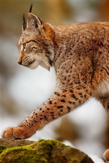 Lynx hunting, predator animals iPhone Wallpaper Preview