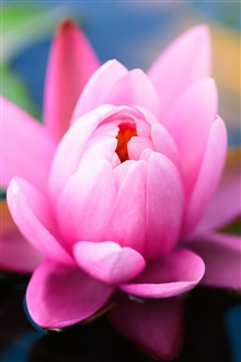 Pink water lily flower close-up iPhone Wallpaper Preview
