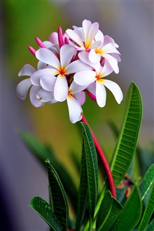 Plumeria flowers macro photography iPhone Wallpaper Preview