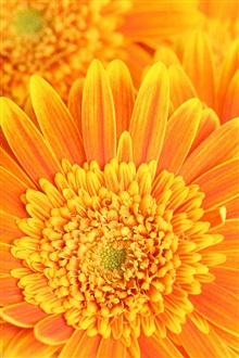 Petals stamens pistils orange iPhone Wallpaper Preview
