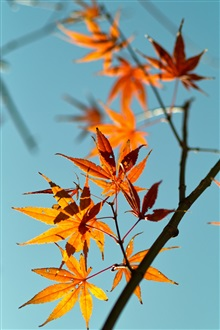Red maple leaves, blue sky background iPhone Wallpaper Preview
