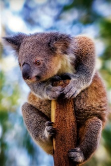 Koala in the tree iPhone Wallpaper Preview