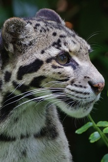 Clouded leopard, wild cat, predator iPhone Wallpaper Preview