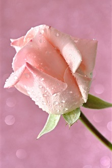 Pink flower, rose, petals, water drops iPhone Wallpaper Preview