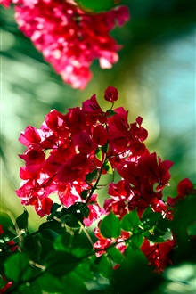 Red bougainvillea flowers iPhone Wallpaper Preview