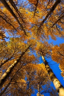 Sky, birch trees, leaves, autumn iPhone Wallpaper Preview