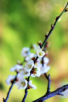White plum flowers, twigs, spring iPhone Wallpaper Preview