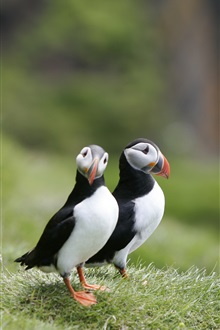 Birds close-up, puffins, couple, grass iPhone Wallpaper Preview