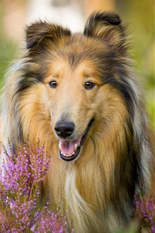 Collie, dog with flowers iPhone Wallpaper Preview