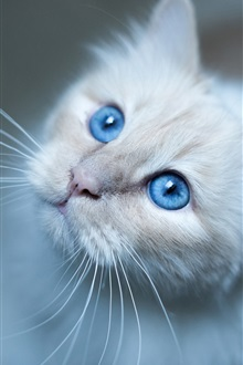Cute cat face, blue eyes iPhone Wallpaper Preview