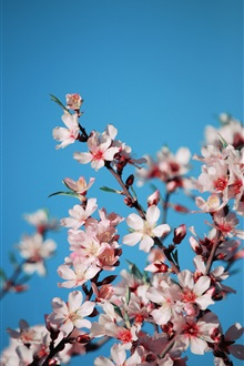 Pink cherry flowers, blue background iPhone Wallpaper Preview