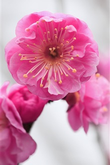 Pink flower, apricot, blurred iPhone Wallpaper Preview