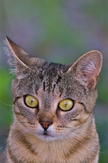 Yellow eyes, cute cat close-up iPhone Wallpaper Preview
