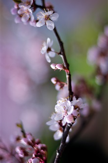 Cherry flowers, pink petals, spring iPhone Wallpaper Preview