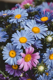 Blue and pink daisy flowers iPhone Wallpaper Preview