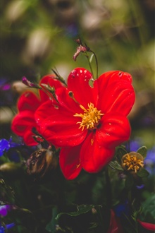 Red and blue flowers, blurry iPhone Wallpaper Preview