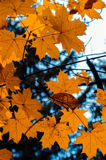 Yellow maple leaves, autumn iPhone Wallpaper Preview