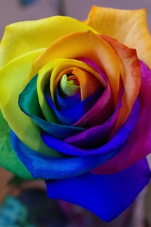 Rainbow petals rose flower iPhone Wallpaper Preview