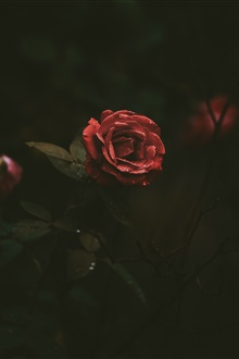 Red rose, petals, water droplets, darkness iPhone Wallpaper Preview