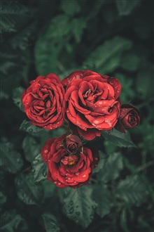 Red roses, petals, water drops iPhone Wallpaper Preview