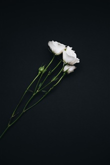 White roses, black background iPhone Wallpaper Preview