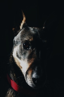 Dog, face, black background iPhone Wallpaper Preview