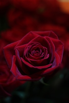 Red rose, petals, flower close-up iPhone Wallpaper Preview