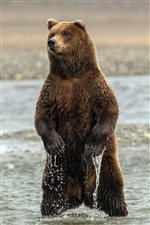 Bear standing in the water iPhone Wallpaper