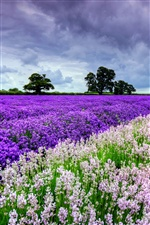 Beautiful the world of lavender flowers iPhone wallpaper